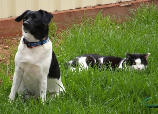 A black and white Miniature Foxillon dog is sitting with a stalking black and white cat behind it.