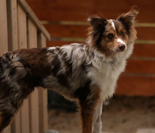 A merle brown grey, tan, black and white Miniature Australian Shepherd is standing outside at the top of a staircase.