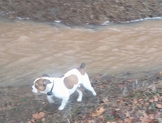 A white with brown Miniature English Bulldog is running next to a rushing brown stream of water