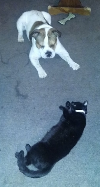 A white with brown Miniature English Bulldog is laying on a gray-blue carpet staring at a black cat that is laying on its right side in front of it. There is a plush dog toy and a chewed wooden table behind them.