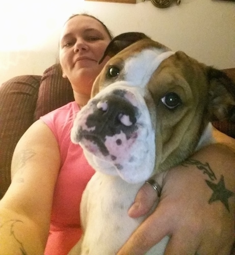 A white with brown Miniature English Bulldog is sitting in the lap of a lady sitting on a brown couch. The lady is taking a selfie.