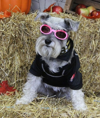 A grey with white Miniature Schnauzer is sitting on a hay bale with another bale behind it. It is wearing pink sunglasses, a shirt and a Boston Bruins bandana. There are apples and a pumpkin in the background.