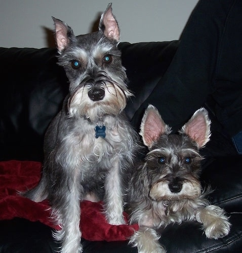 Front view - Two gray Miniature Schnauzers are sitting and laying on a black leather couch. Both dogs have perk ears, but one is more rounded and the other has pointy years.