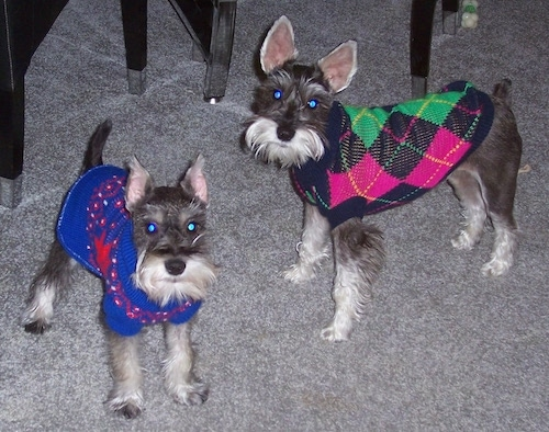 Buddy and Maddy the Miniature Schnauzers are standing on a carpet and wearing sweaters. One sweater is bright blue and red and the other is pink, green and black.
