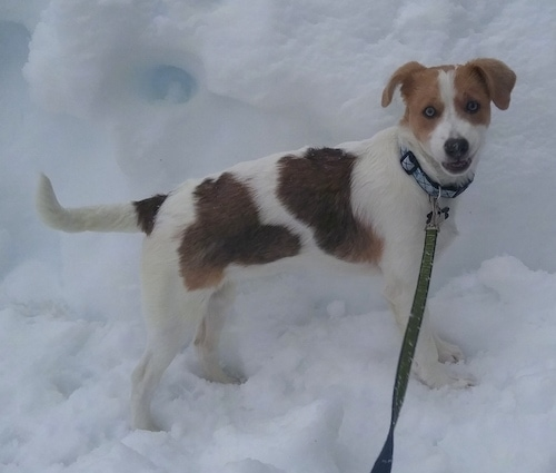 View from the side - A medium-sized, smooth-coated, rose eared, white with tan and brown mixed breed dog is standing outside in snow. Its mouth is open.