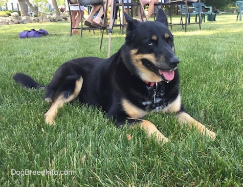 Front side view - A black with tan German Shepherd / Husky mix is laying in grass and it is looking to the right. Its mouth is open and its tongue is out. There is a table full of people in the background. It has one blue eye and one brown eye.