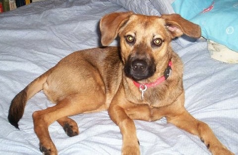 A tan with black Mountain Cur is wearing a red collar laying on a human's bed and looking forward.