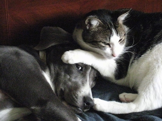 A grey with white Mountain Cur is laying on a couch with a gray and white cat next to it. The cat has its paws on top of the dog's head.