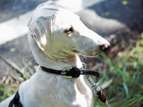 Closeup - A Mudhol Hound standing outside in grass wearing a black collar and a leash