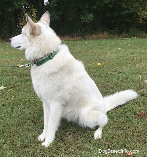Side view - A white with tan Native American Indian Dog is wearing a green collar sitting in grass and it is looking forward. There are trees behind it.
