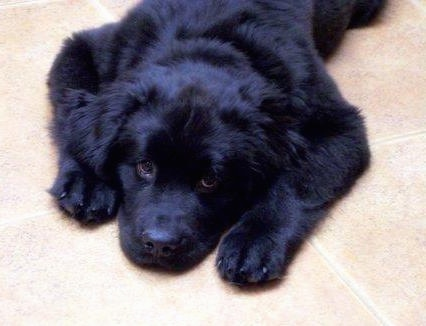 A black Newfoundland puppy is laying down on a tan tiled floor and looking up.
