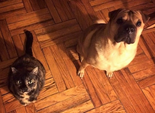 A tan with black Ori Pei is sitting on a wooden floor next to a calico cat. They are both looking up.