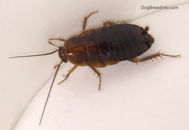 Pictures of the Cockroach along with information ...