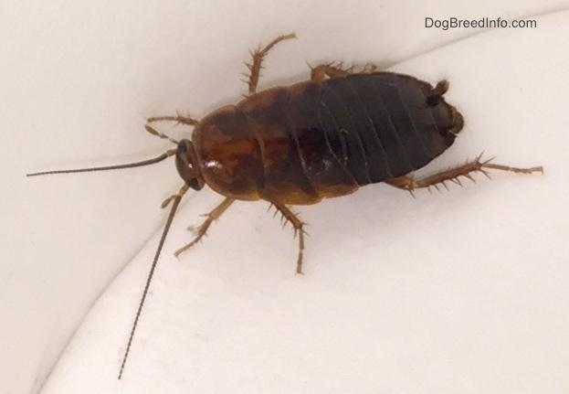 Water bug vs cockroach - photo#16