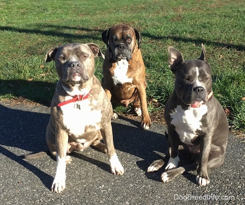 A blue nose Pit Bull Terrier, a brown brindle with black and white Boxer and a blue nose American Bully Pit are sitting on a black top surface.