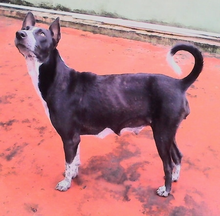 The left side of a perk-eared, short-haired, black with white Pariah Dog standing on a red concrete surface looking up and to the left. The dog's tail is up and ring curled over its back. Its teets are large as if it recently had a litter of puppies.