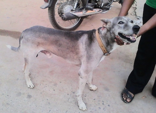 Pariah Dog Breed Information and Pictures