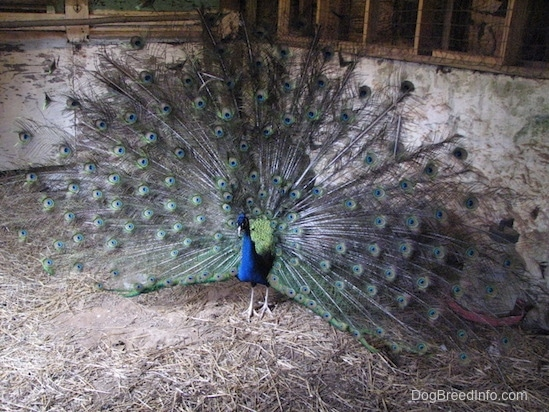 A Peacock standing in a barn and its train is up.