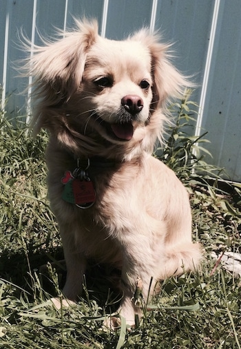 Front side view - A happy looking, tan Peke-a-poo is sitting in grass looking to the right. Its mouth is open and tongue is out. It has longer hair on its ears and around its neck.