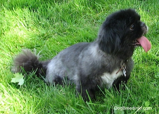 A black with white Pekingese is sitting in grass and it is looking to the right. Its mouth is open and big pink tongue is out.