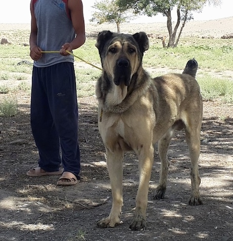 A tall, large breed, tan with black Persian Sarabi dog is standing under the shade of a tree in dirt and its head and tail is up. There is a boy dressed in black sweat pants, a light blue shirt and peach colored sandals behind it tightly holding its leash. The dog's ears are cropped small.