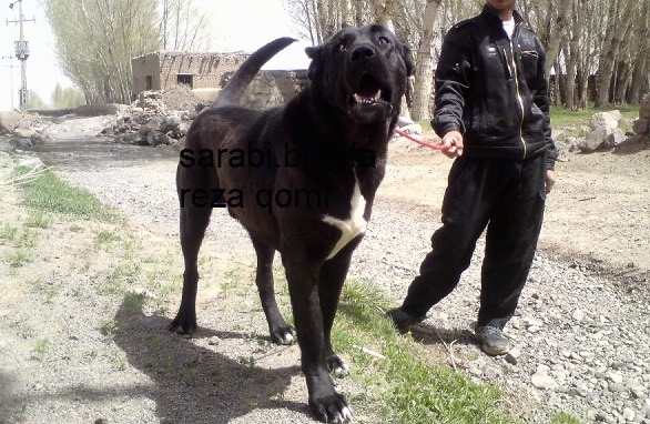 Front view - A tall, huge, black with white Persian Sarabi Dog is walking across patchy grass and next to it is a person holding its leash. The dogs mouth is open and it is looking up and to the left. The words - sarabi bomu reza qomi - are overlayed.