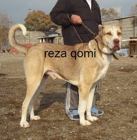 Side view - A tan with black Persian Sarabi Dog is standing in dirt and it is looking forward. The words - reza qomi - are overlayed. There is a man wearing gray pants, a black coat and blue sandals behind the dog holding its leash. THe dogs ears are cropped very small.