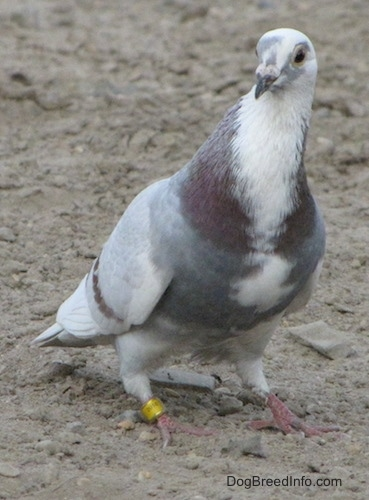 A white with grey and purple Pigeon is standing on dirt and it is looking to the left. It has a yellow ring tag on its left foot.