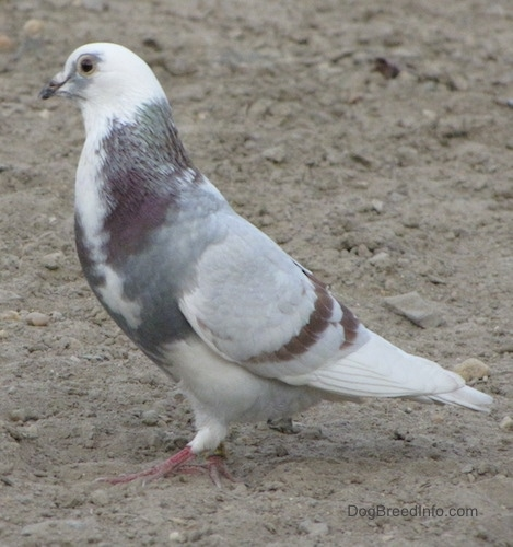 Left Profile - A white with grey and purple Pigeon is standing in dirt and it is looking to the left.