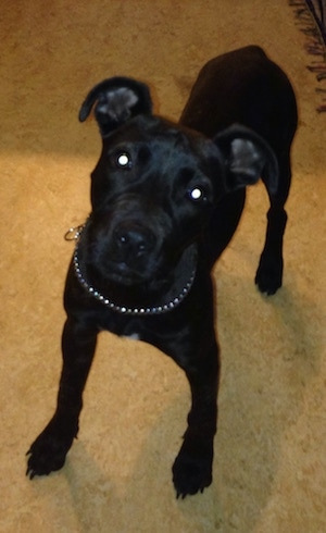 A black American Pit Bull Terrier Puppy is wearing a chain collar and standing on a carpet