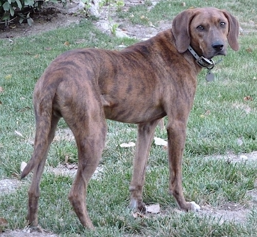 The back of a brown brindle with white Plott Hound that is standing in grass looking back at the camera.
