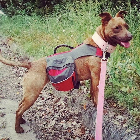 Right Profile - A happy looking, rose-eared, short-haired, brown with a tuft of white Pocket Pitbull dog standing with its front legs on a curb wearing a gray and red backpack looking to the right. Its mouth is open and tongue is out and tail is even with its body. It has a thick pink leather collar on its neck and it is connected to a pink leash.