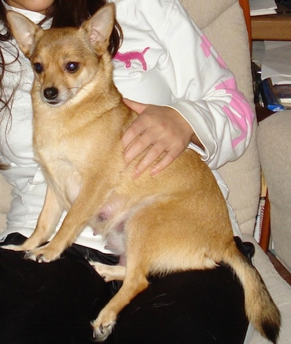 A shorthaired tan with white Pomchi is sitting in the lap of a lady sitting in an arm chair. The dog has perk ears.