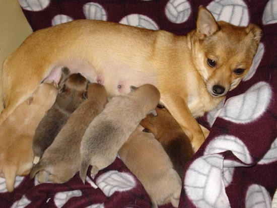 Coco Chanel the PomChi nursing a litter of 6 puppies