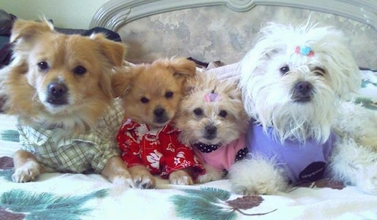 PomaPoo Family-Left to right-Daddy Sysco at 1 year old, 13 week old puppies Kiki and Nala, Mama Honey at 1 year old.
