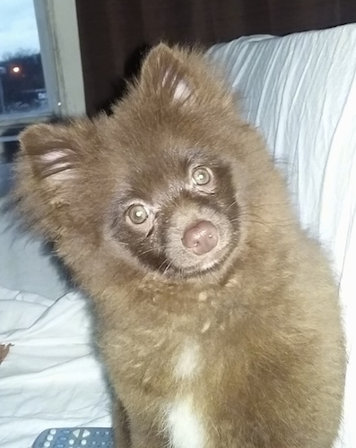 Close up - A fluffy brown Pomeranian puppy is sitting on a couch and it is looking forward. Its head is leaning to the left.