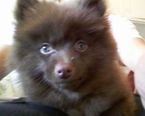 Close up head shot - A fluffy brown Pomeranian puppy is laying on top of a person and they are looking forward. Its eyes are round.