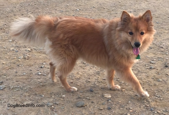 Right Profile - A happy,looking, perk-eared, thick-coated, fluffy, red with white Poshies dog is walking across a dirt surface looking forward. Its mouth is open and its tongue is out.