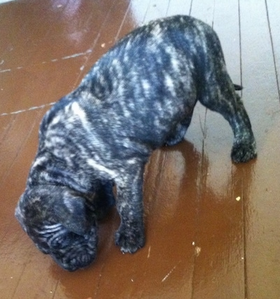 Side view - A pudgy, brindle with white Presa Dane puppy is standing on a hardwood floor sniffing something.