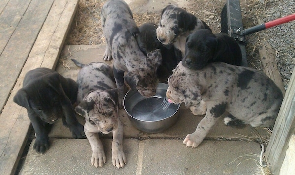 A litter of 7 Presa Dane puppies are huddled around a water bowl that is on a stone porch. A couple of the puppies are laying next to the bowl and the rest of the puppies are drinking out of a water bowl. There is a push broom behind them.