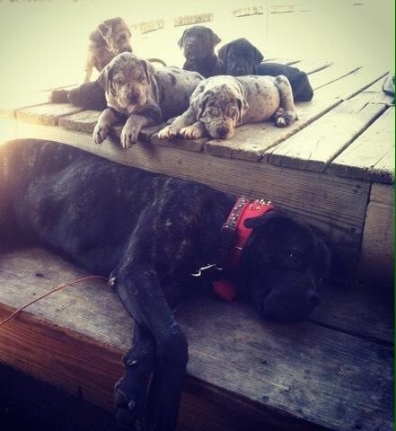 A large litter of Presa Dane puppies are laying up on a wooden deck and on the wooden step below is a black brindle Presa Canario wearing a thick red collar laying on its left side.