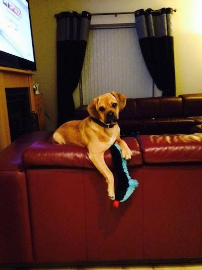 Side view - A tan with black Pugalier dog is laying on the back of a red couch with a long black, teal blue and red cloth plush toy hanging down from under its paws.