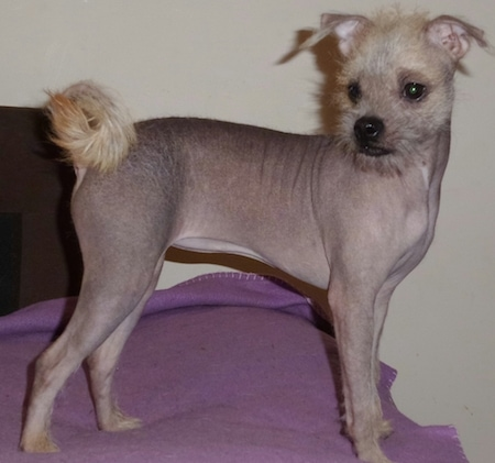 Right profile - A mostly hairlese Pugese is standing on a bed that is covered with a purple blanket looking to the left. It has light yellow colored hair on its tail and head.