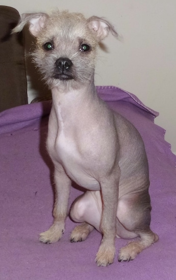 Close up front view - A mostly hairless Pugese dog is sitting on a purple blanket looking forward. It has wiry looking hair on its head, paws and tip of its tail.