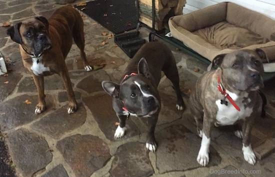 A brown brindle with white Boxer, A black with white American Bully and a blue-nose brindle Pit Bull Terrier are standing outside on a stone porch and they are looking up and to the right.