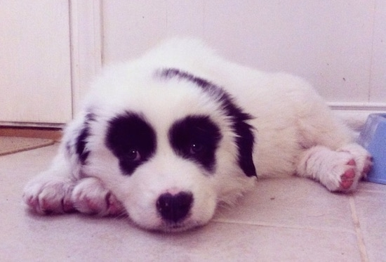 Front side view - A white with black Pyreness Pit puppy is laying down on a tan tiled floor next to a plastic blue food bowl. The dog is all white with symmetrical round black patches around each eye and black ears making it look like a panda bear clown face.