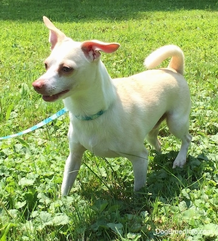A tan with white Rat Terrier/American Foxhound is that walking across a lawn, its mouth is open and its ears are off to the sides.