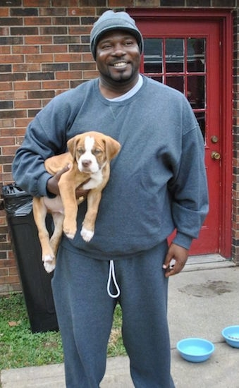 A person in a grey sweatsuit is holding a Red-Tiger Bulldog puppy under his arms.