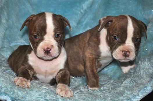 Two tiny Red-Tiger Bulldog puppies are laying on a blue pillow and they are looking forward.
