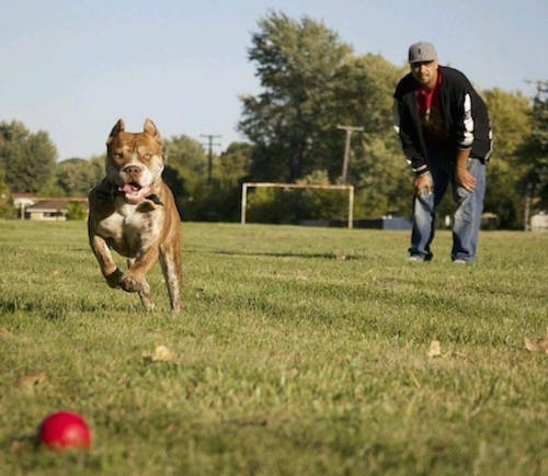 The Red-Tiger Bulldog is running after a red ball in a field. There is a man in a grey hat looking after the dog.